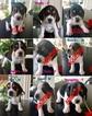 UKC Beagle Puppies