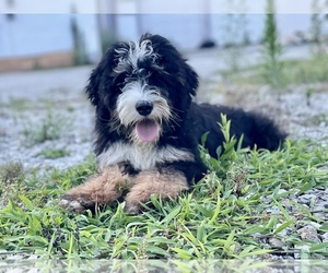 Bernedoodle Puppy for sale in MACON, IL, USA