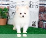 Small #1 Pomeranian