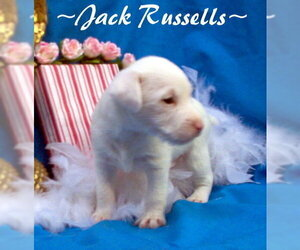 Jack Russell Terrier Puppy for Sale in FOYIL, Oklahoma USA