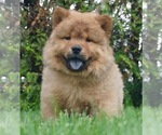 Puppy 4 Chow Chow
