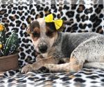 Small #9 Australian Cattle Dog-Jack Russell Terrier Mix