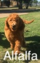 Goldendoodle Puppy For Sale in MIDLOTHIAN, TX,
