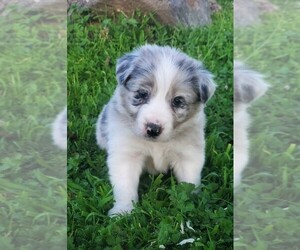 Border Collie Puppy for sale in MARIPOSA, CA, USA