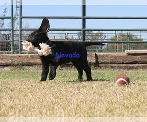 Labrador Retriever Puppy for Sale in CORTARO, Arizona USA