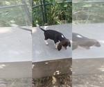 Small Photo #16 Beagle Puppy For Sale in LAFAYETTE, IN, USA