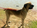 Cane Corso Puppy For Sale in SMITHVILLE, Mississippi,
