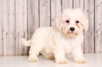 Schnoodle (Miniature) Puppy For Sale in MOUNT VERNON, OH,