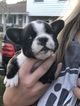 French Bulldog Puppy For Sale in BRANDON, FL, USA