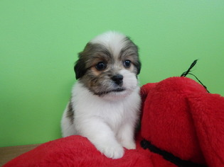 Havashu Puppy For Sale in HAMMOND, IN