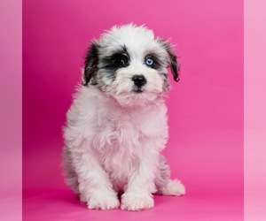 Aussiedoodle Puppy for sale in WARSAW, IN, USA