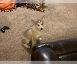 Puppy 0 Alaskan Malamute