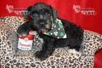 Schnauzer (Miniature) Puppy For Sale near 76266, Sanger, TX, USA