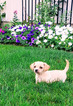 Chihuahua-Weimaraner Mix Puppy For Sale in DUNDEE, OH, USA
