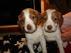 Brittany Puppy For Sale in HEATH, MA