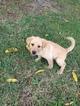 Labrador Retriever Puppy For Sale in HOBE SOUND, FL, USA