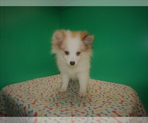 Pomeranian Puppy for sale in PATERSON, NJ, USA