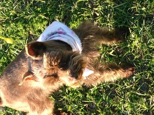 Schnauzer (Miniature) Dog For Adoption in WYLIE, TX, USA