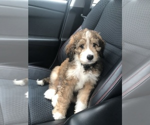 Bernedoodle-Unknown Mix Puppy for sale in AMITY, IN, USA