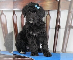 Bernedoodle Puppy for sale in FREDERICKSBG, OH, USA