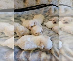 Maltipoo Puppy for sale in FRESNO, CA, USA