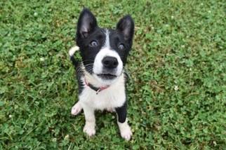 Border Collie Puppy For Sale in BRISTOW, OK, USA