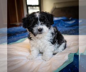 Zuchon Puppy for sale in ACTON, CA, USA