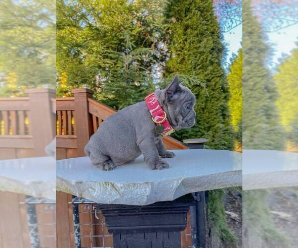Medium Photo #3 French Bulldog Puppy For Sale in MARYSVILLE, WA, USA
