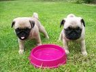 Pug Puppy For Sale in LOUISVILLE, KY
