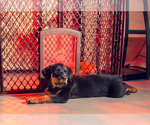 Small Photo #1 Rottweiler Puppy For Sale in LITTLE ROCK, AR, USA