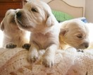 Golden Retriever Puppy For Sale in JAMESTOWN, NY