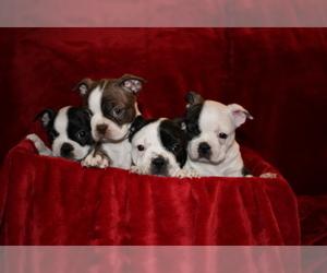 Boston Terrier Puppy for sale in BROKEN ARROW, OK, USA