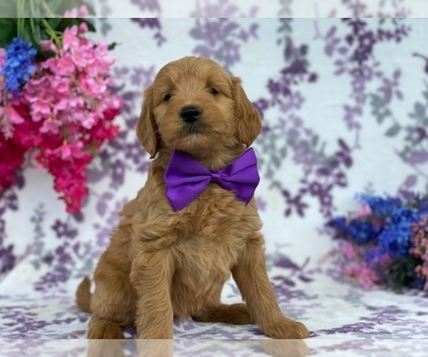Medium Photo #1 Goldendoodle Puppy For Sale in LANCASTER, PA, USA
