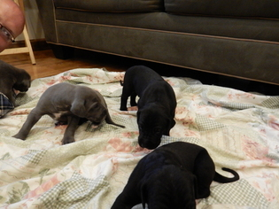Great Dane Puppy For Sale in LEWISBURG, PA