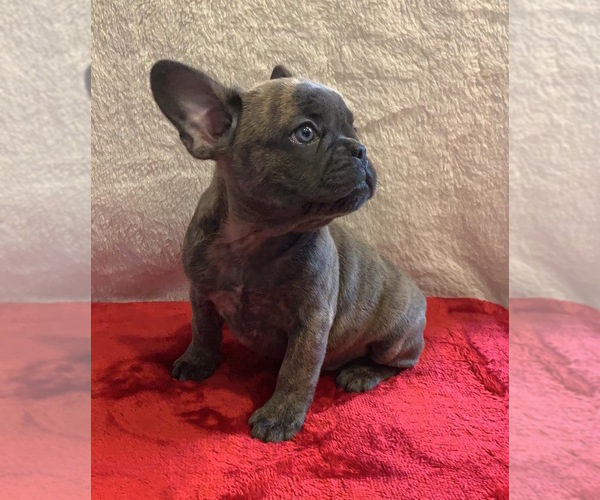 View Ad: French Bulldog Puppy for Sale near Portugal