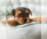 Yorkshire Terrier Puppy For Sale in PARIS, TX, USA