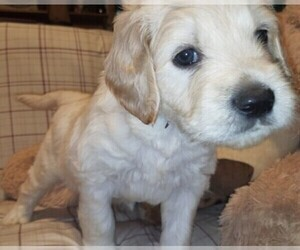 Goldendoodle Puppy for Sale in EAST POINT, Georgia USA