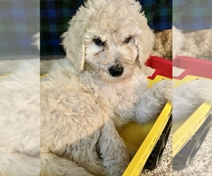 Poodle (Standard) Puppy for sale in WALNUT GROVE, MO, USA