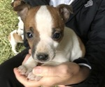Puppy 9 Jack Russell Terrier