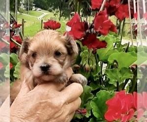 Morkie Puppy for sale in CORNERSVILLE, TN, USA