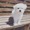 Adorable Maltese Boy