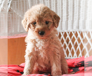 Goldendoodle (Miniature) Puppy for sale in LANCASTER, PA, USA