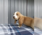 Small #13 Basset Hound