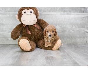 View Ad: Cavapoo Puppy for Sale near North Carolina