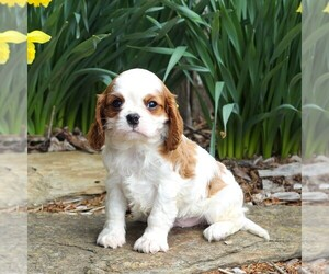 Cavalier King Charles Spaniel Puppy for sale in GORDONVILLE, PA, USA