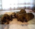 4 Dachshunds puppies for sale