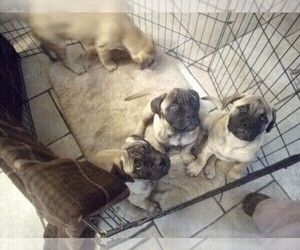 Bullmastiff Puppy for sale in N LITTLE ROCK, AR, USA