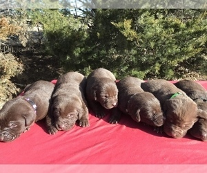 Labrador Retriever Puppy for sale in CORNING, KS, USA