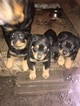 AKC Rottweiler Puppies German Type