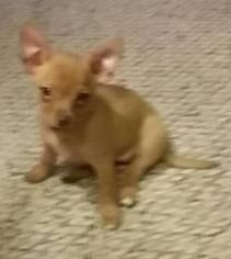 Chihuahua Puppy For Sale in COLOMA, WI, USA